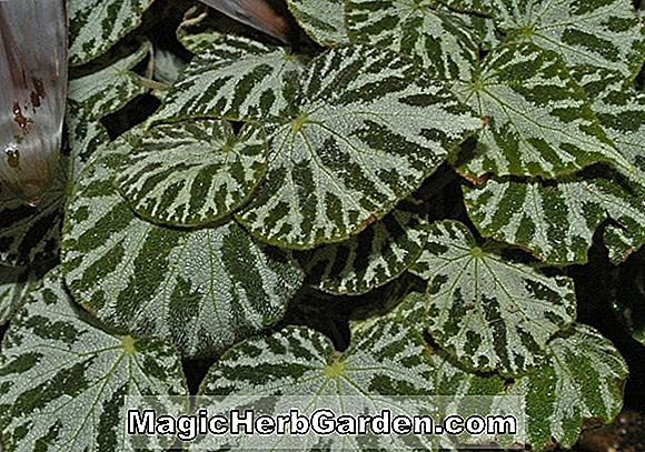 Begonia Silver Firecolor (Silver Firecolor Begonia)