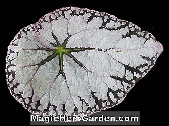 Begonia Silver Lace (Silver Blonde Begonia) - #2