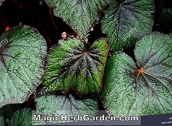 Begonia Sir Arthur Leatherman (Sir Arthur Leatherman Begonia)