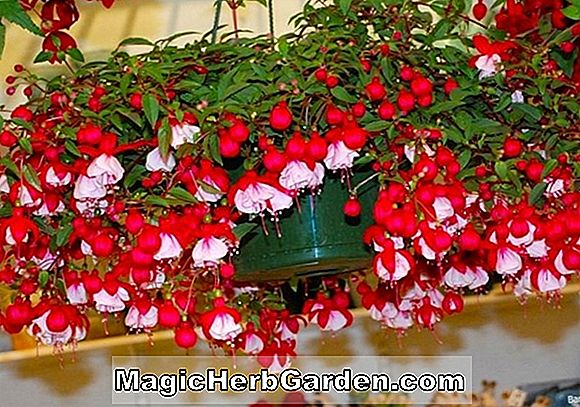 Begonia Sir Randy Cole (Sir Randy Cole Begonia)
