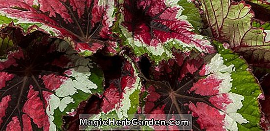 Begonia Star Shadow (Star Shadow Begonia)