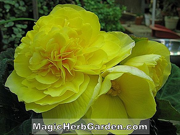 Begonia Swirly Top (Swirly Top Begonia)