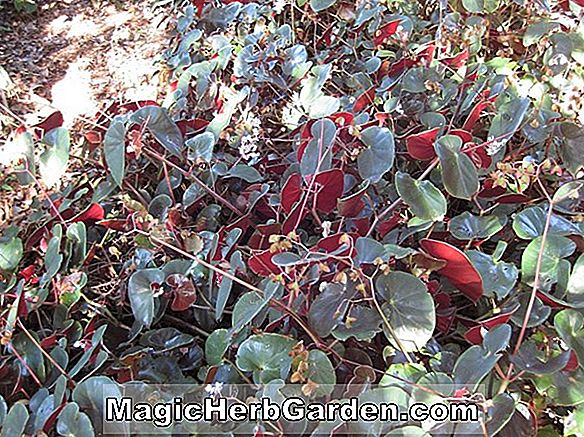 Begonia Thurstonii (Thurstonii Begonia)