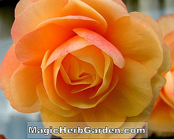 Begonia Toy Soldier (Toy Soldier Begonia) - #2