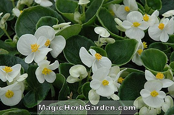 Begonia White Bellybutton (White Bellybutton Begonia)