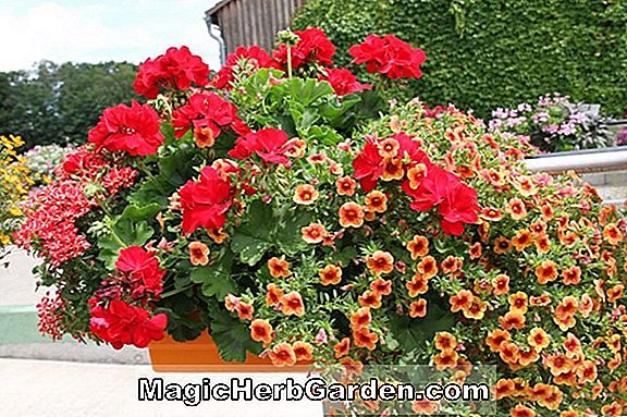 Planter: Begonia Winter Jewel (Winter Jewel Begonia) - #2