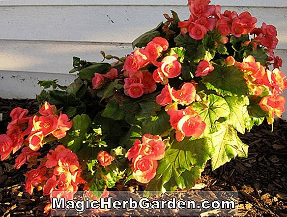 Begonia Winter Queen (Winter Queen Begonia)