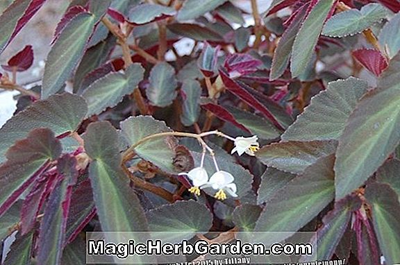 Begonia Withlacoochee (Withlacoochee Begonie) - #2