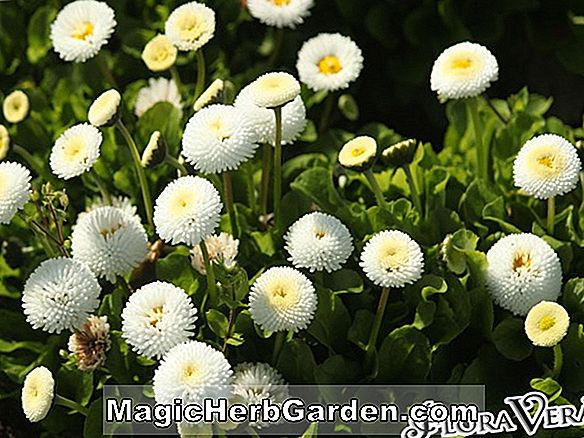 Bellis perennis (Medicis English Daisy)