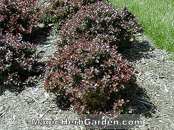 Planter: Berberis thunbergii (Erecta Japanese Barberry)