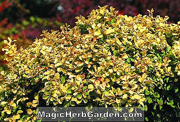 Planter: Berberis thunbergii (Sparkle Japanese Barberry)