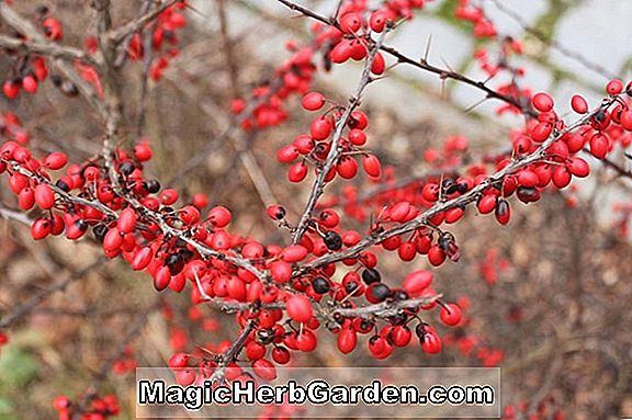 Planter: Berberis thunbergii (Helmond Pillar Japanese Barberry) - #2