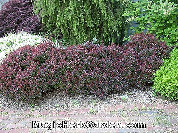 Planter: Berberis x mentorensis (Mentor Barberry) - #2