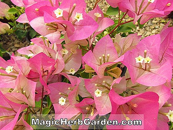 Planter: Bougainvillea (Sundown Bougainvillea)