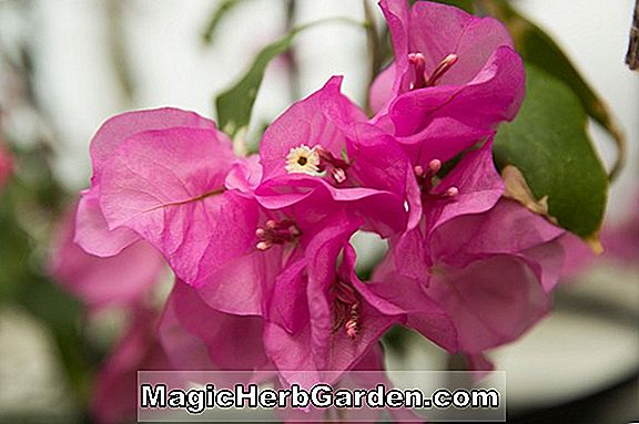 Pflanzen: Bougainvillea (James Walker Bougainvillea) - #2