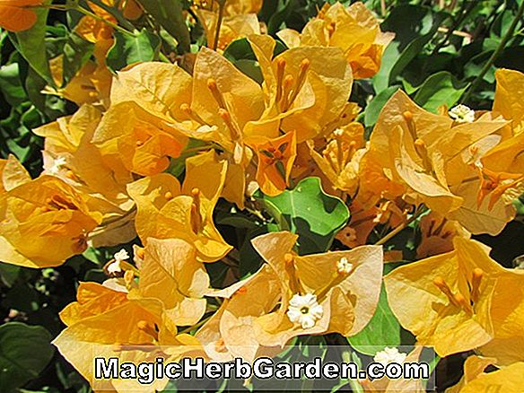 Bougainvillea buttiana (California Gold Bougainvillea)