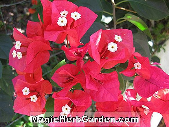 Planter: Bougainvillea buttiana (Bridal Bouquet Bougainvillea)