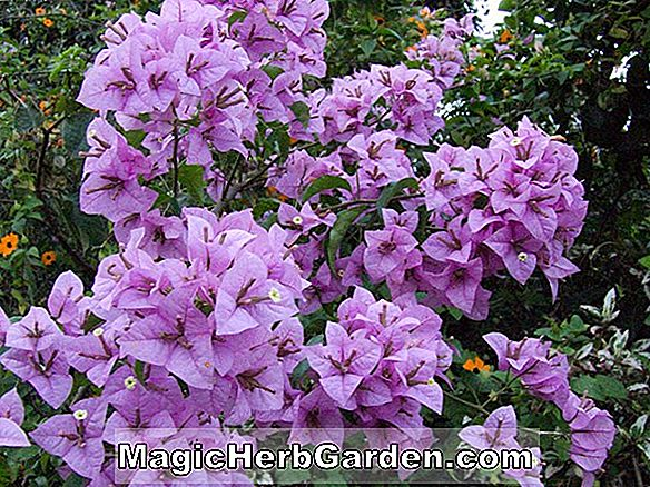Bougainvillea glabra (Purple Bougainvillea)