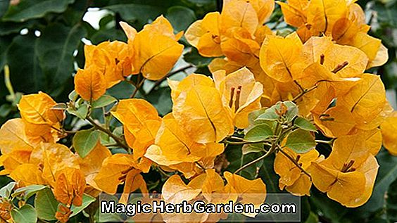 Bougainvillea x buttiana (Hawaiianische Gold Bougainvillea)