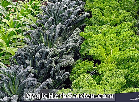 Brassica oleracea (Winter Red Kale)