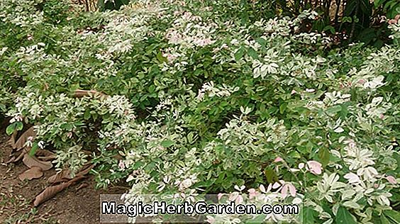 Breynia disticha (Hawaiian Snow Bush)