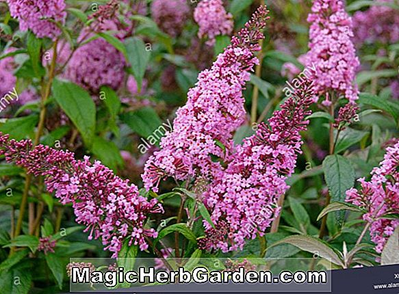 Planter: Buddleia davidii (White Harlequin Summer Lilac)