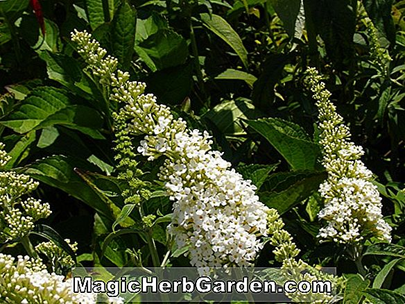 Buddleia davidii (Snow Bank Summer Lilac)