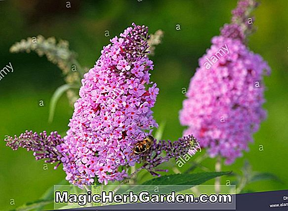 Planter: Buddleia davidii (Nanho Purple Summer Lilac)