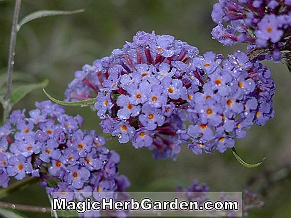 Planter: Buddleia davidii (Nanho Blue Summer Lilac)