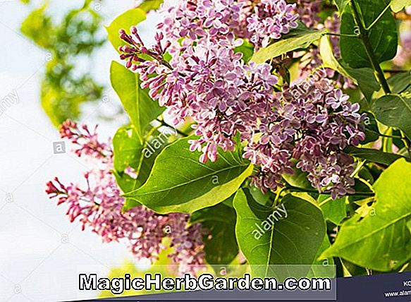 Planter: Buddleia davidii (Pink Delight Summer Lilac)