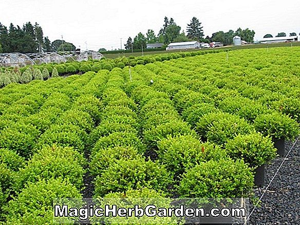 Buxus microphylla (Small-Leaved Boxwood)
