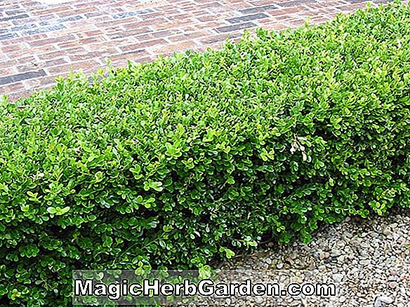 Buxus microphylla (Winter Green Boxwood)