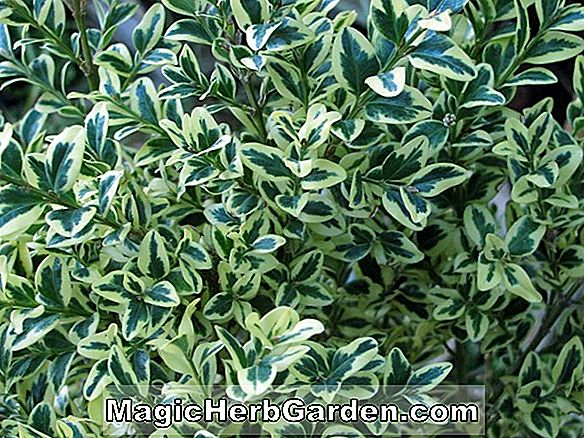 Planter: Buxus sempervirens (Variegated Common Boxwood)
