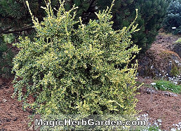 Buxus sempervirens (Weeping Common Boxwood)