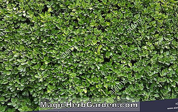 Buxus sempervirens (Edging Boxwood)
