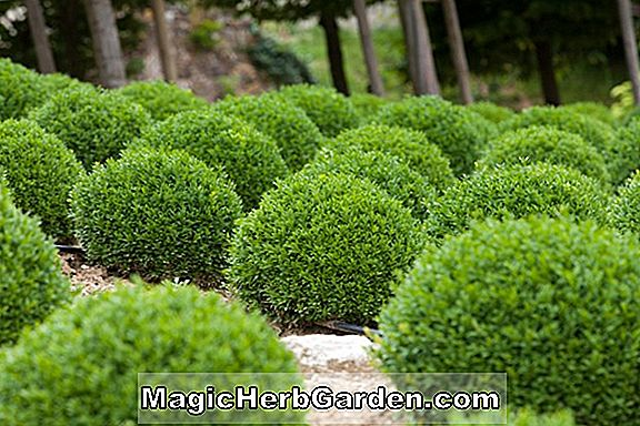 Planter: Buxus (Green Mountain Boxwood)