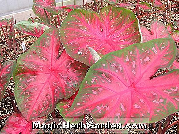 Caladium bicolor (Angel Wings) - #2