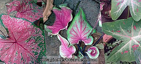 Caladium bicolor (White Christmas Caladium) - #2
