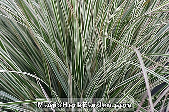 Calamagrostis ophitidus (Serpentin Reed Grass) - #2