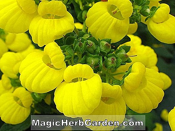 Planter: Calceolaria integrifolia (Calceolaria)