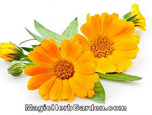 Calendula officinalis (Orange King Calendula) - #2