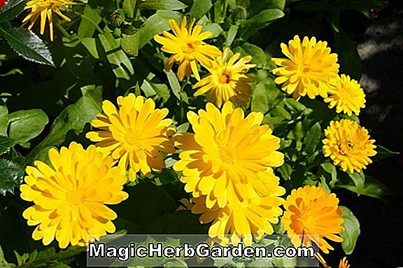 Calendula officinalis (Art Shades Calendula)