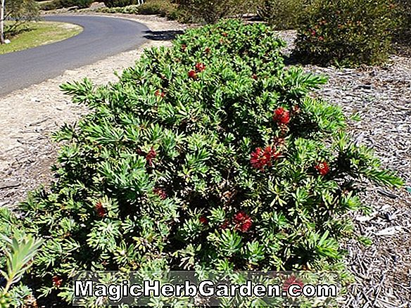 Callistemon citrinus (Little John Dwarf Bottlebrush)