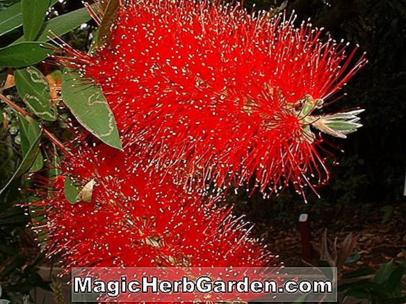 Pflanzen: Callistemon citrinus (Crimson Bottlebrush) - #2