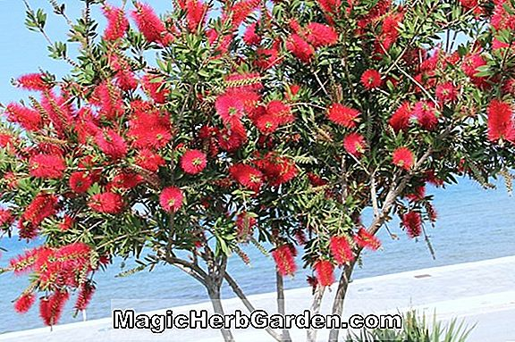 Planter: Callistemon citrinus (Splendens Bottlebrush) - #2
