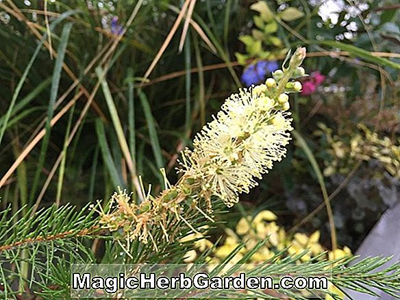 Planter: Callistemon pityoides (Alpine Bottlebrush)