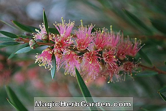 Callistemon sieberi (Alpine Bottlebrush) - #2