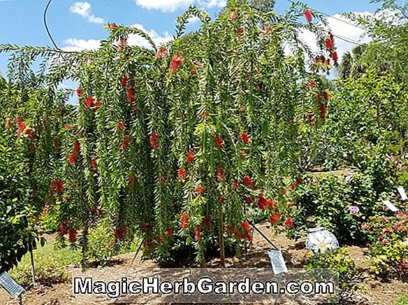 Planter: Callistemon speciosus (Albany Bottlebrush)