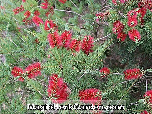 Callistemon subulatus (Tonghi Bottlebrush)