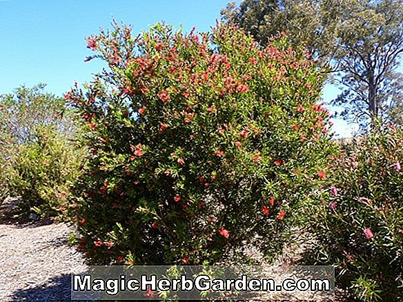 Callistemon viminalis (Rose Opal Bottlebrush)